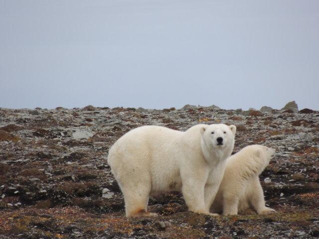 orsi polari in terra